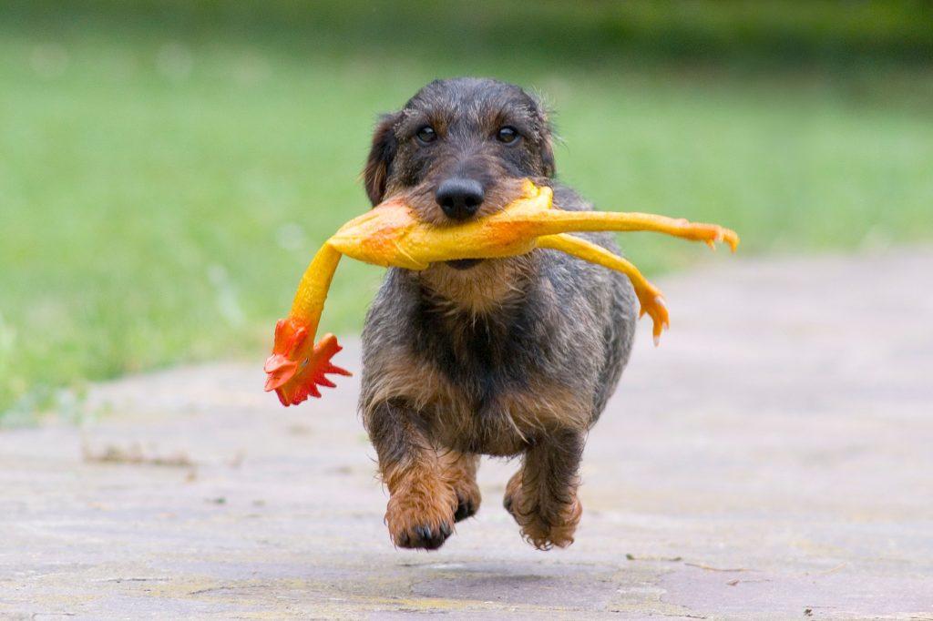 dachshund-sm